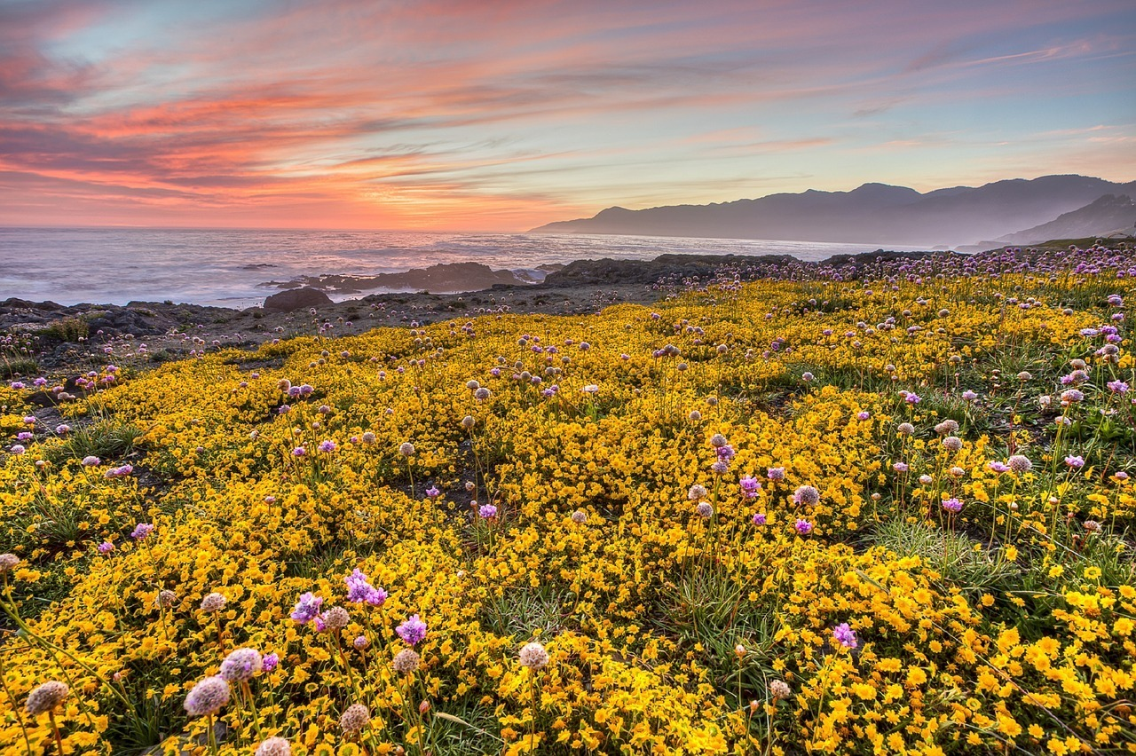 wildflowers on california coast at sunset