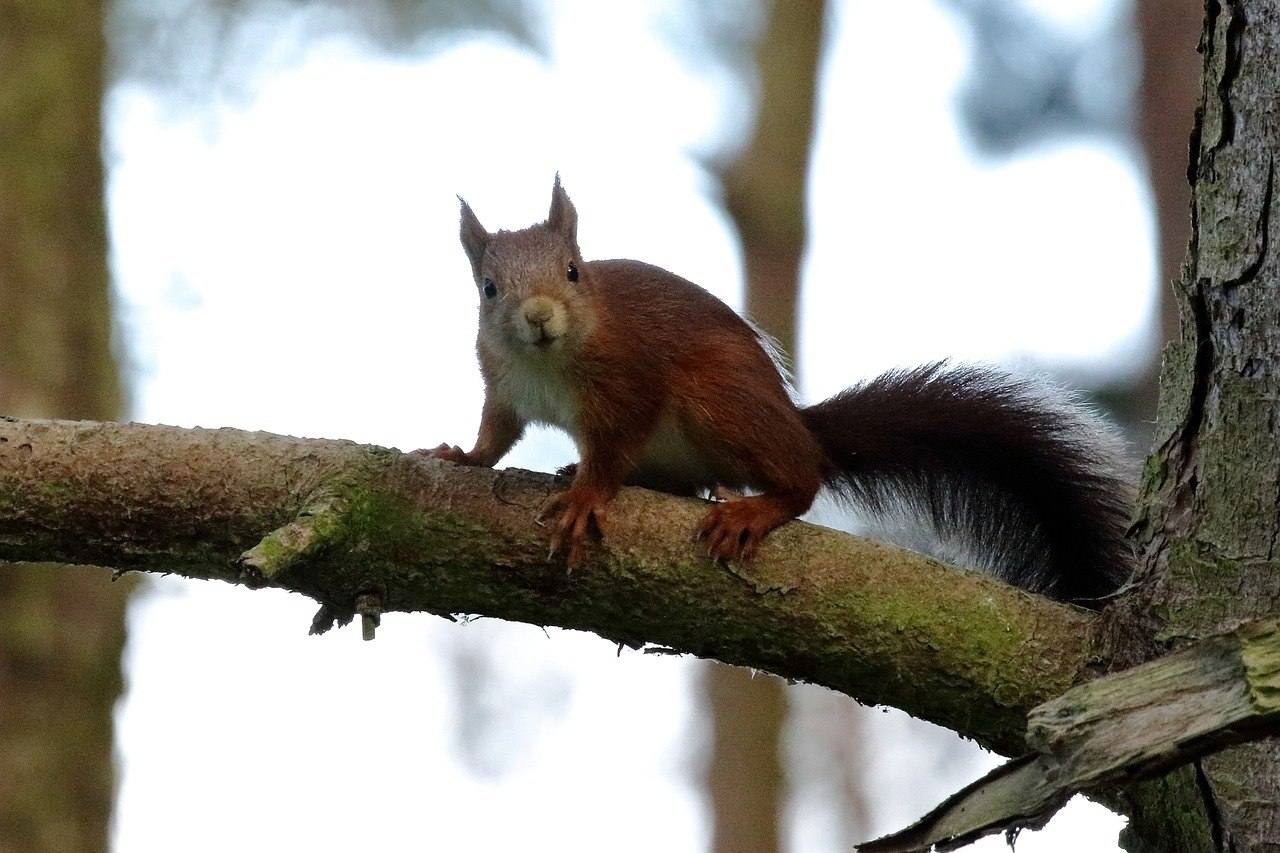 A red squirrel on a branch at Formby Red Squirrel Reserve in Liverpool.